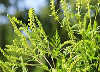 current-pollen